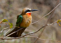 whitefronted bee-eater/   witkap-bijeneter